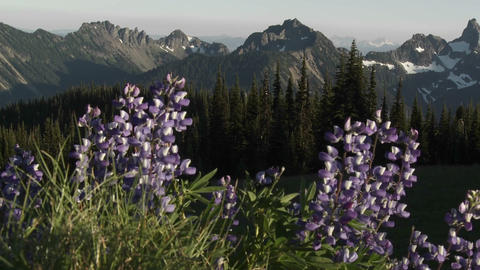 Purple lavender flowers grow in the Pacific Northw Footage