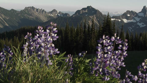 Purple lavender flowers grow in the Pacific Northw Stock Video Footage