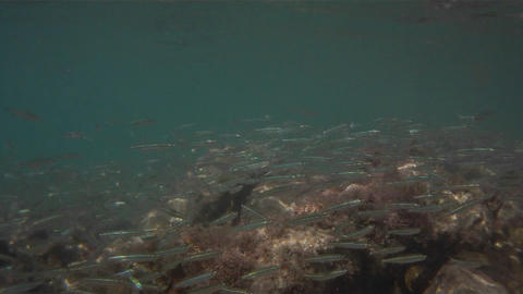 Underwater footage of lots of small silver fish sw Stock Video Footage