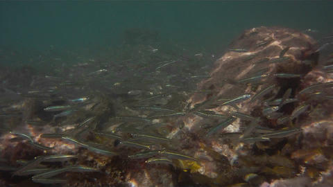 Underwater footage of lots of small silver fish sw Footage
