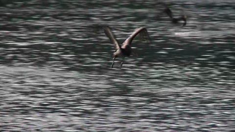 A pelican flies in slow motion over the ocean Stock Video Footage