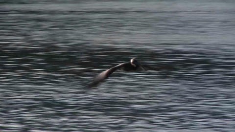 A pelican flies in slow motion over the ocean Footage
