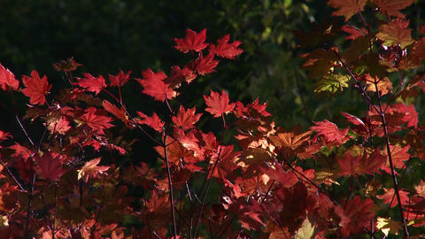 Beautiful red leaves mark the start of the fall se Stock Video Footage
