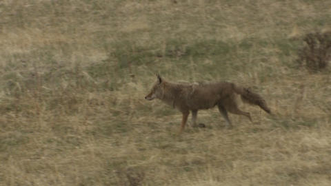 A coyote walks through the grass Footage