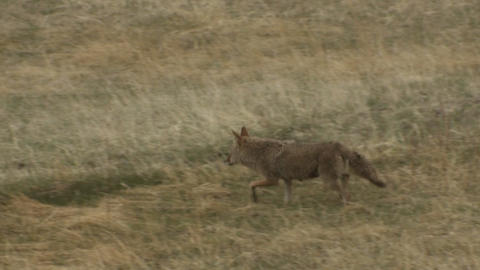 A coyote walks through the grass Stock Video Footage