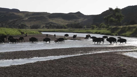 Buffalo cross a river in Yellowstone National park Footage