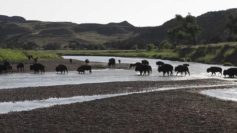 Buffalo cross a river in Yellowstone National park Stock Video Footage