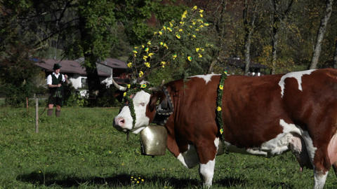 Tyrollean cattle graze in a field in the Alps Stock Video Footage