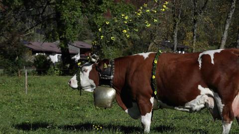 Tyrollean cattle graze in a field in the Alps Stock Video Footage