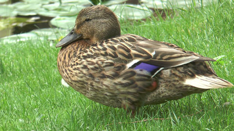 Beautiful mallard duck closeup Stock Video Footage