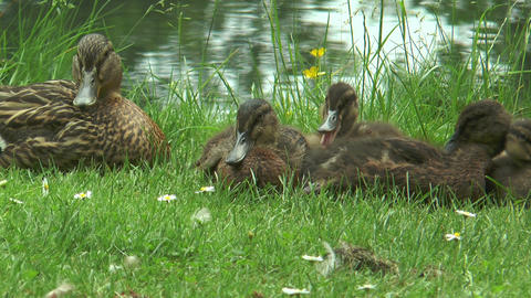 Mother Duck and her babies relaxing in green grass Footage