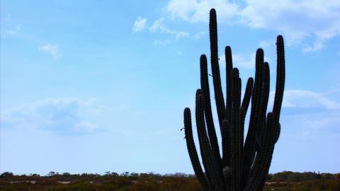 Cactus Timelapse 01 Stock Video Footage
