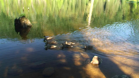 A team of ducks paddle through a lake Stock Video Footage