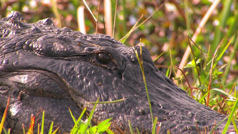 An alligator rests in the grass Stock Video Footage