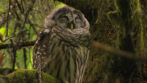 A spotted owl sleeps on a tree covered in moss Footage