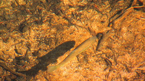 A fish swims in a stream at Tuolumne Meadows in Yo Stock Video Footage