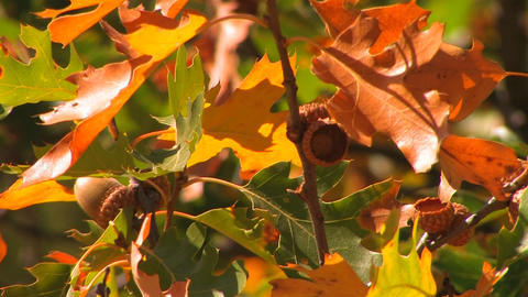 Autumn leaves from an oak tree shine in the sun Footage