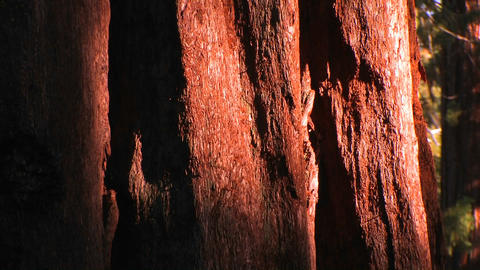 The bark of a pacific old grove tree at the Sequoi Stock Video Footage