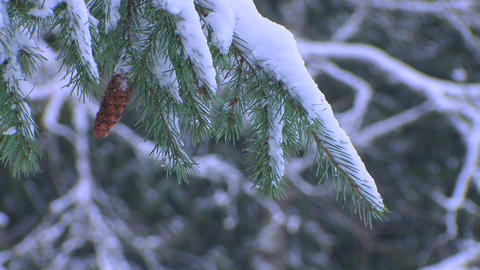 Pine needles covered in snow Live Action