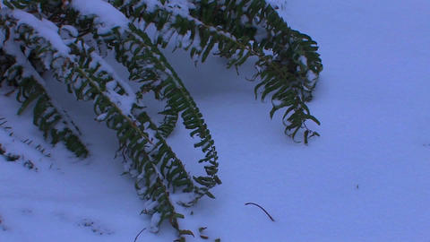 A fern rests in the snow Stock Video Footage
