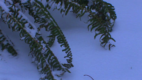 A fern rests in the snow Footage