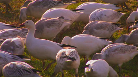A flock of birds feed in a grassy field Stock Video Footage
