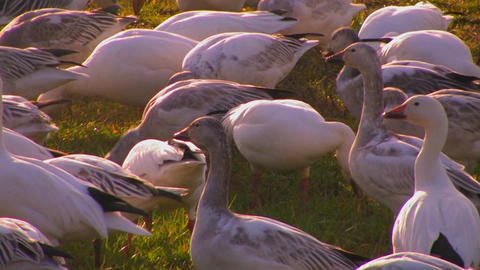 A flock of birds feed in a grassy field Footage