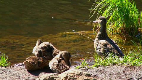 A group of ducks stand on the shore of Trillium La Footage