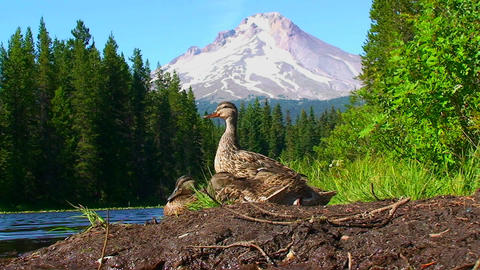 A group of ducks stand on the shore of Trillium La Stock Video Footage