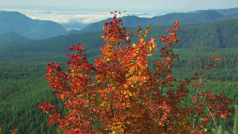 Autumn leaves blow in a breeze at Mt. St. Helens N Footage