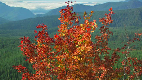 Autumn leaves blow in a breeze at Mt. St. Helens N Stock Video Footage