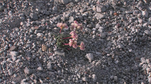 A plant grows among gravel at Mt. St. Helens Natio Stock Video Footage