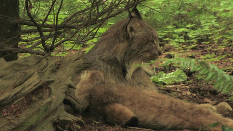 A bobcat licks itself in a forest Stock Video Footage