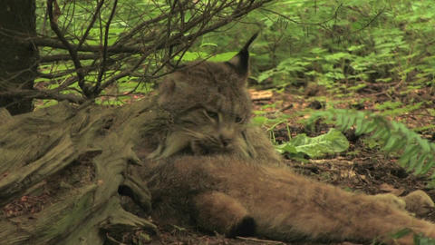 A bobcat licks itself in a forest Footage