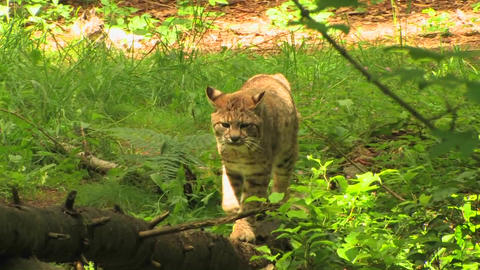 Three bobcats in a forest at day Stock Video Footage