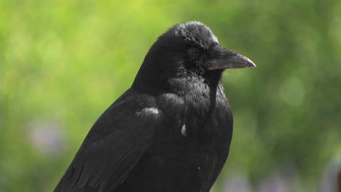 A black bird at day Stock Video Footage