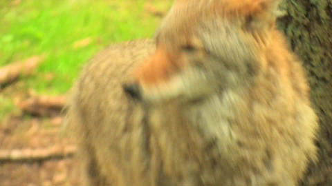A coyote stands in a forest at day Stock Video Footage
