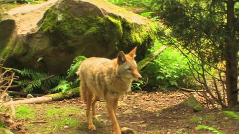 coyotes walk around a forest at day Footage