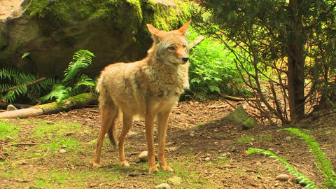 coyotes walk around a forest at day Stock Video Footage
