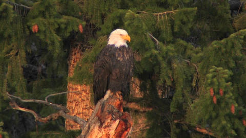 An American bald eagle sits on a tree branch Live Action