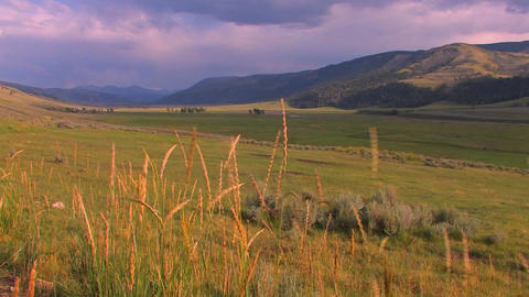 Reeds blow to and fro in a beautiful field in Yell Stock Video Footage