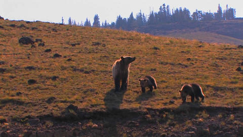 A grizzly bear and cubs walk along a hillside Stock Video Footage