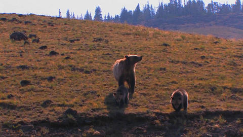 A grizzly bear and cubs walk along a hillside Footage