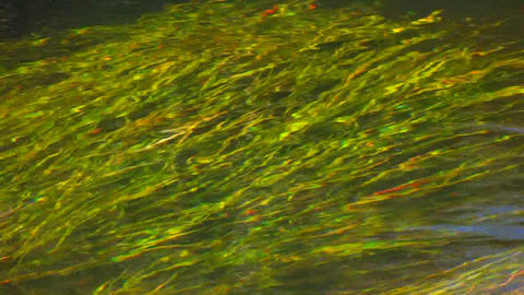 Beautiful green grass grows underwater in a flowin Stock Video Footage