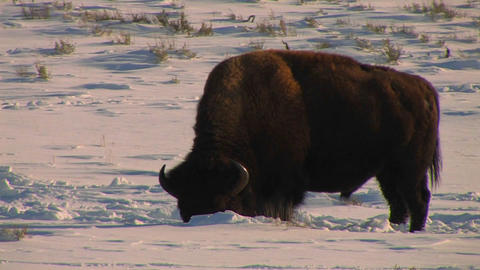A buffalo grazes in the snow in Yellowstone Nation Footage