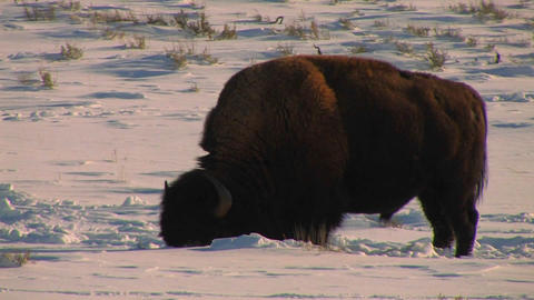 A buffalo grazes in the snow in Yellowstone Nation Stock Video Footage