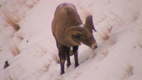 A dall sheep grazes in the snow Footage
