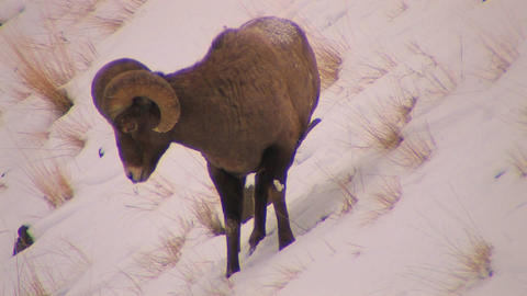 A dall sheep grazes in the snow Stock Video Footage