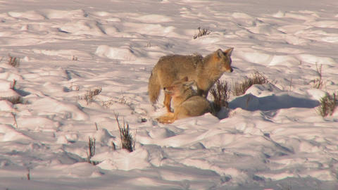 foxes sit in deep snow Stock Video Footage