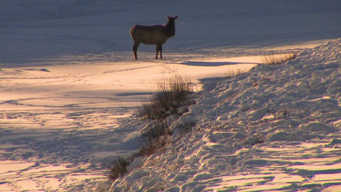 An elk stands in distant snowscape Stock Video Footage